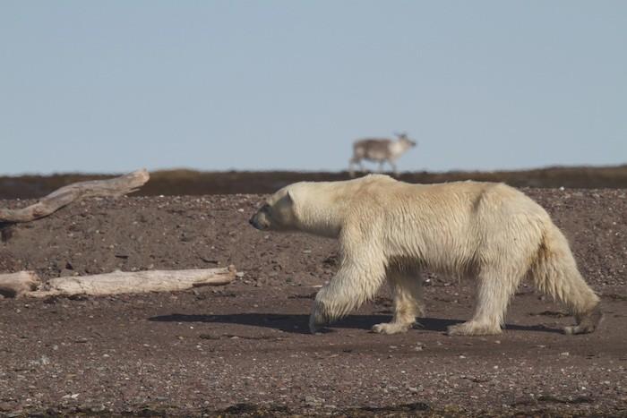 Polar Bear & Reindeer
