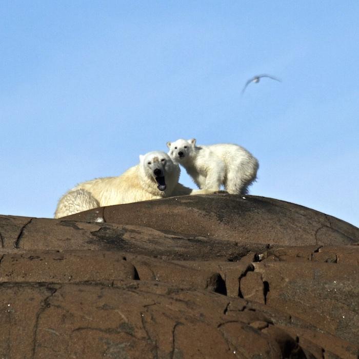 Polar Bear Mom with her pup