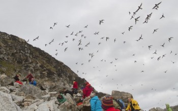 Dovekie flock returning to nesting grounds