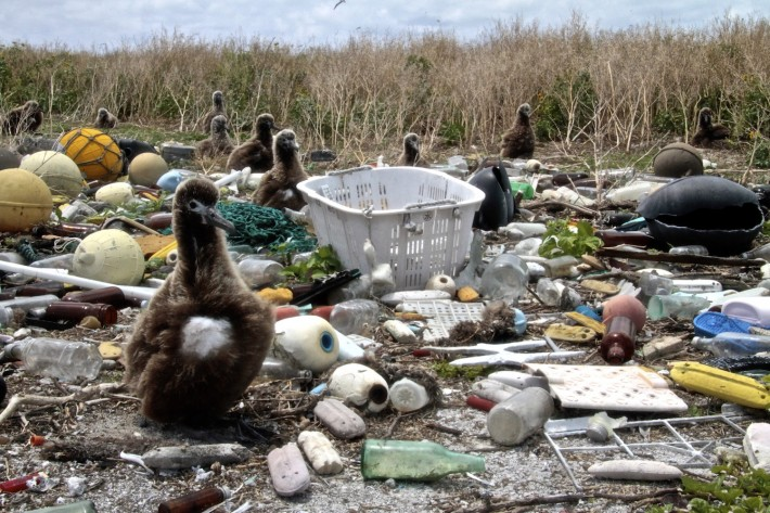 Laysan Albatros chick nests among washed up marine debris, Midway Islands