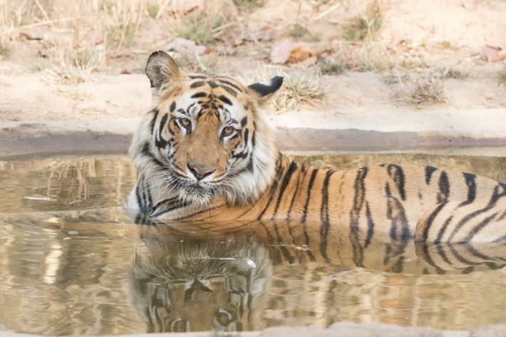 Tigers-3