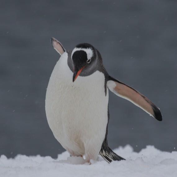 Gentoo Penguin, Orne Island