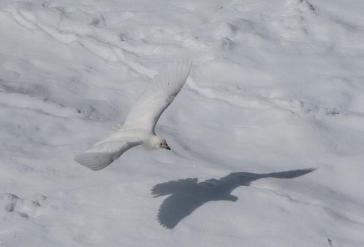 Snowy (Pale-faced) Sheetbill, Hydruga Rock
