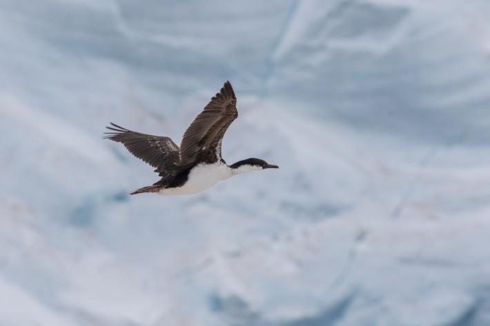 Antarctic Shag, Port Lockroy