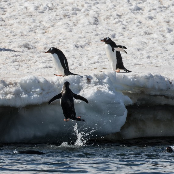Gentoo Peguin jumping for shore, Danco Island