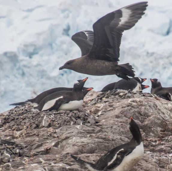 Brown Suka flying over Gento Penguins, Half Moon Island