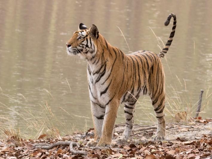 Tigers-55
